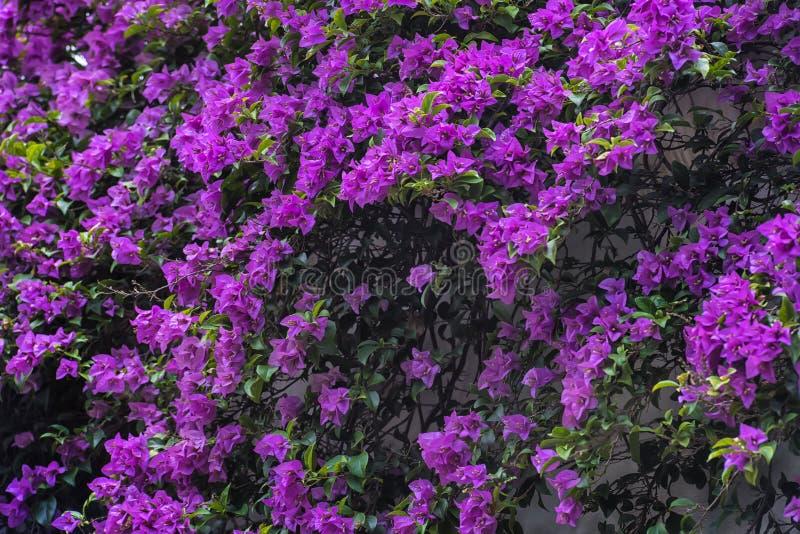 Bougainvillea spectabilis roślina zdjęcia stock