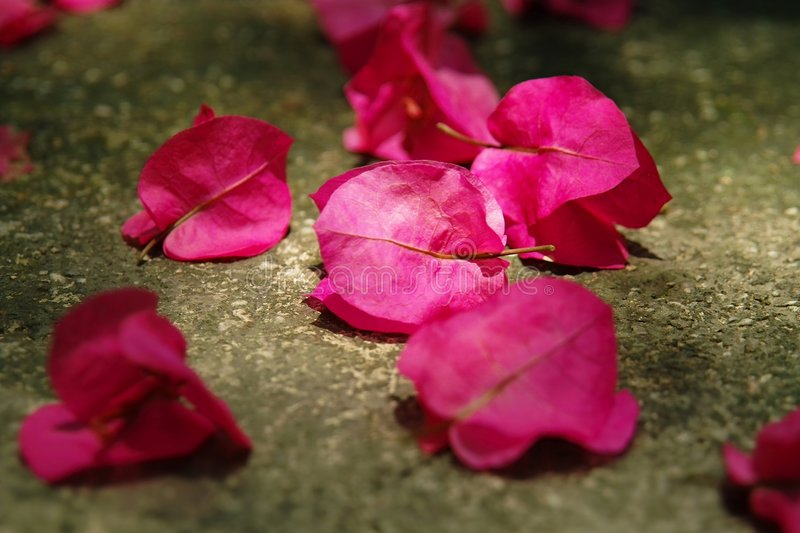 Bougainvillea spectabilis wind royalty free stock photography