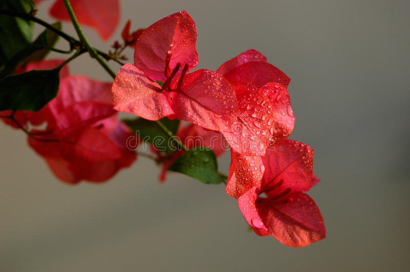 Bougainvillea spectabilis wind with dewdrops. Blooming red bougainvillea spectabilis wind with dewdrops in the morning stock image