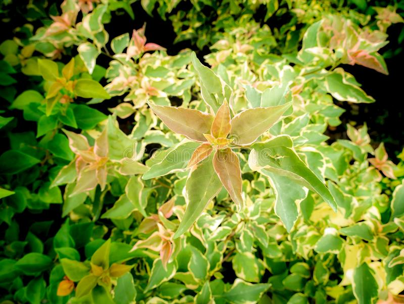 Bougainvillea Spotted Leaves Growing royalty free stock photo