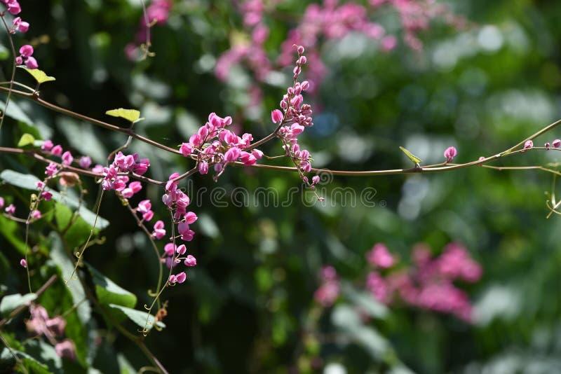 Bougainvillea Tajlandia fotografia stock