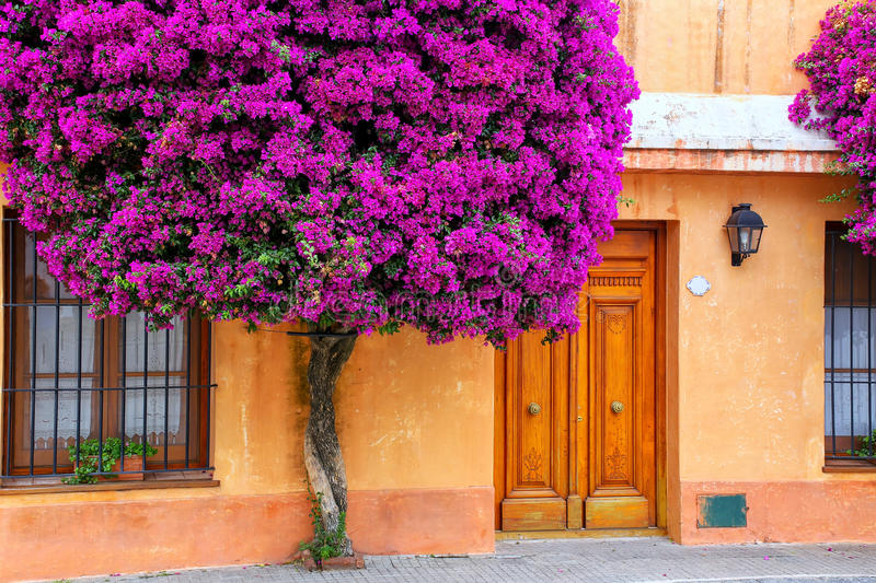 Bougainvillea tree growing by the house in historic quarter of C. Olonia del Sacramento, Uruguay. It is one of the oldest towns in Uruguay royalty free stock photography