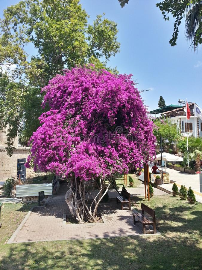 Bougainvillea tree growing in the old town of Antalya. stock photography
