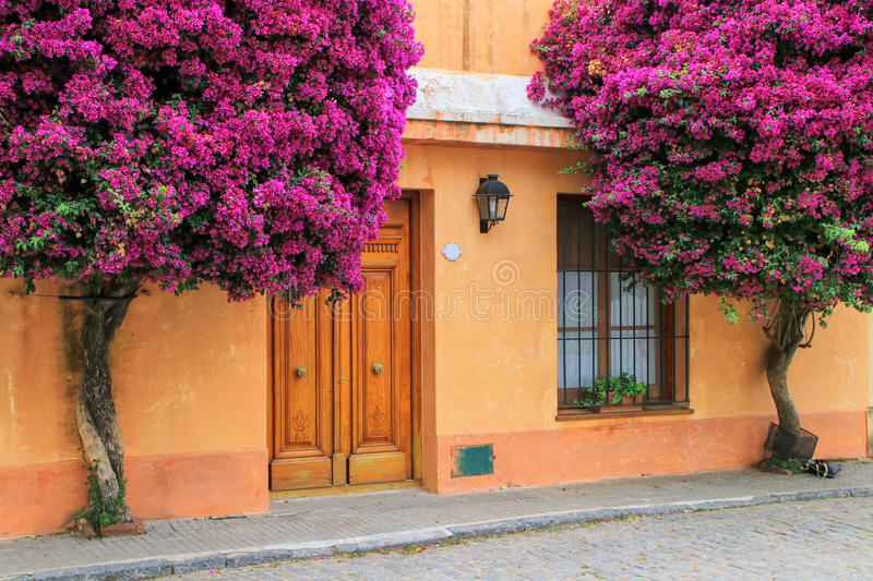 Bougainvillea trees growing by the house in historic quarter of. Colonia del Sacramento, Uruguay. It is one of the oldest towns in Uruguay royalty free stock photography