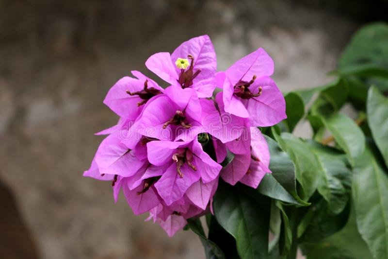 Bougainvillea vine plant with magenta-scarlet bracts around yellow flowers growing on single branch stock photos
