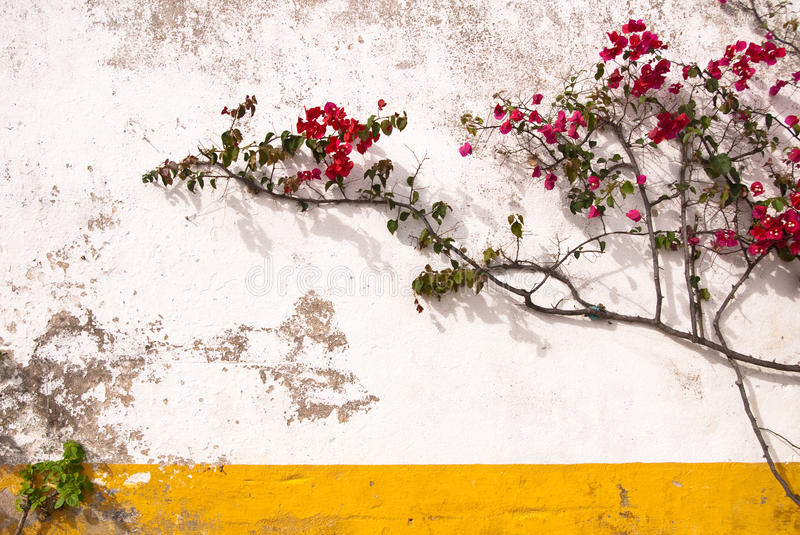 Download Bougainvillea and wall stock photo. Image of wall, gardening - 23347148