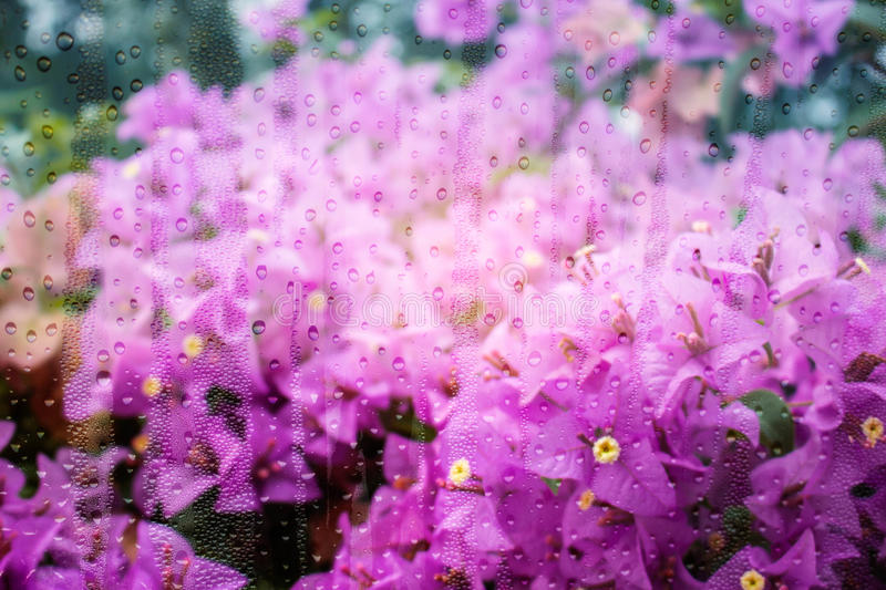 Bougainvillea with water droplets on glass. Purple bougainvillea flowers with water droplets on glass stock image