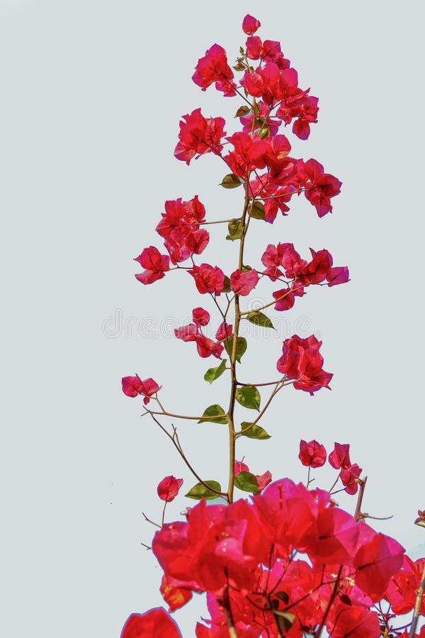 Bougainvillea with white background stock photography