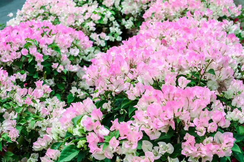 bougainvillea white pink two tone color flower blooming royalty free stock image