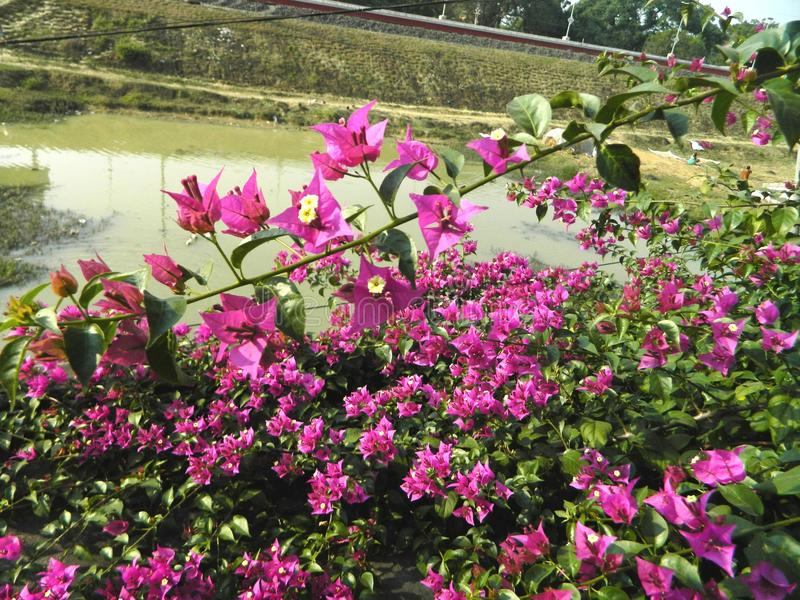 Bougainvillea ziele z kwiatami i pełzacze obraz stock