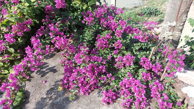 Bougainvillea ziele z kwiatami i pełzacze fotografia royalty free