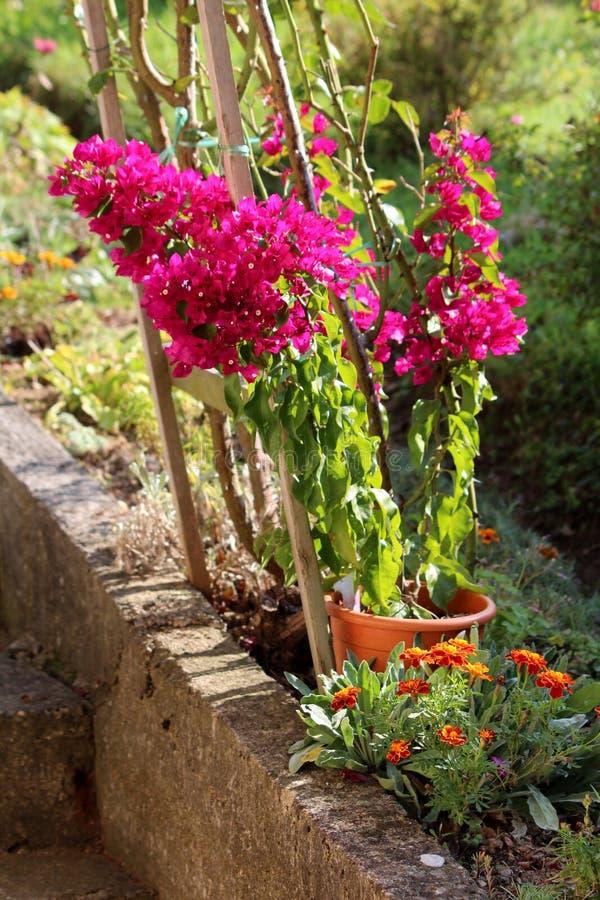 Bougainvillea Zierpflanze mit dichten, farbenfrohen rosa Sepal wie Armbänder, die um weiße Blumen wachsen, die aus Blumentopf lizenzfreies stockbild