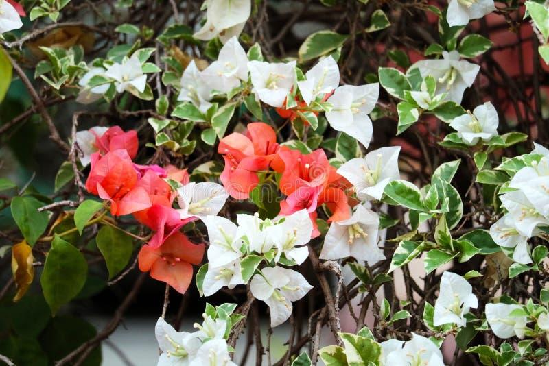Bougainvilleabloem die in de groene bladeren van het tuinonduidelijke beeld bloeien royalty-vrije stock afbeelding