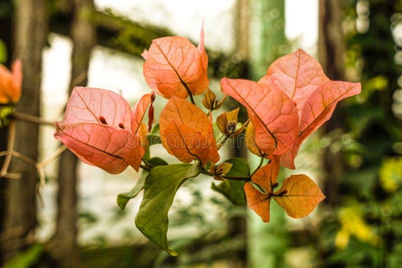 Bougainvilleabloem van botanische tuin royalty-vrije stock foto