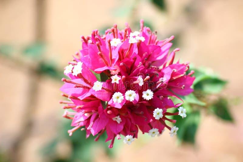 Bougainvilleabloemen stock afbeelding