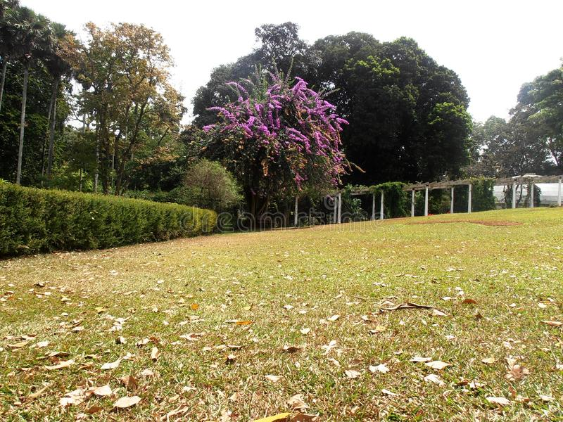Bougainvilleaboom bij mooi geheld gazon stock fotografie
