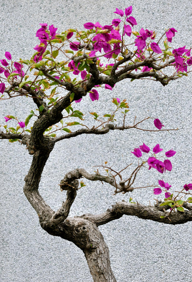 Bougainvilleaen Blommar Bonsai Royaltyfri Bild