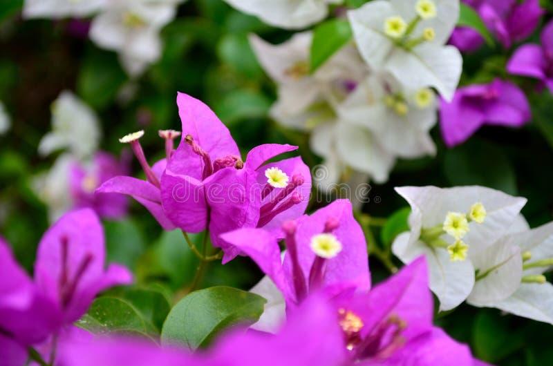 Bougainvillean blommar i trädgården, Thailand arkivbilder