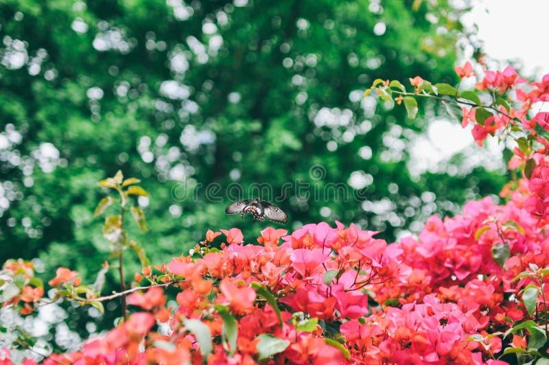 Bougainvillean och fjärilen i trädgården eller naturen parkerar royaltyfria bilder