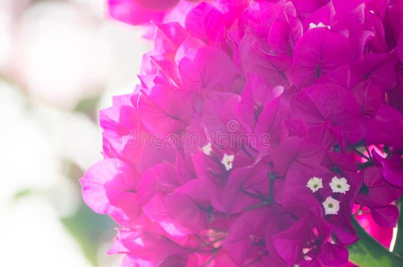 Bougainvillearosa färgen blommar tätt upp arkivbilder