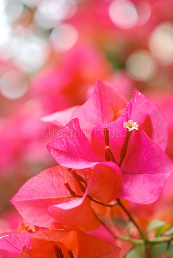 bougainvilleas obrazy royalty free