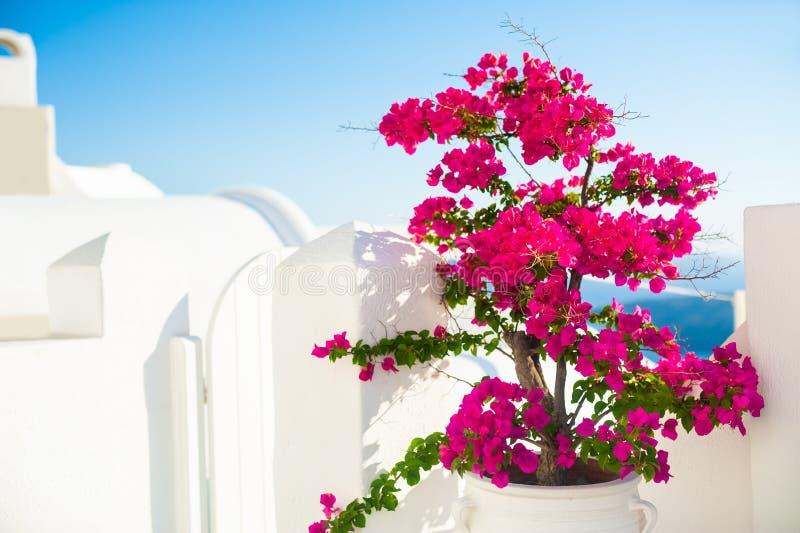 Bougainvilleaträd med rosa blommor och vit arkitektur på den Santorini ön, Grekland arkivfoton