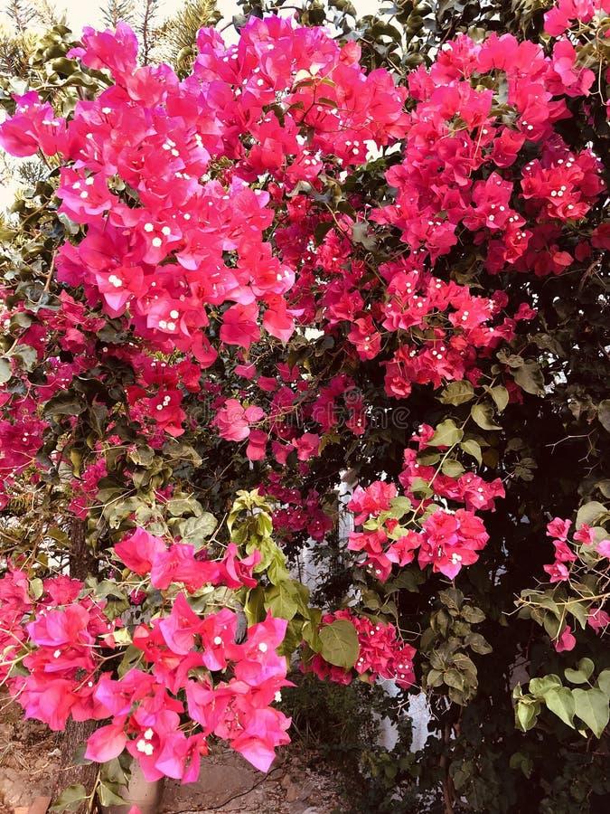 Bougainvillia in der vollen Blume im Sommer, Spanien lizenzfreie stockbilder