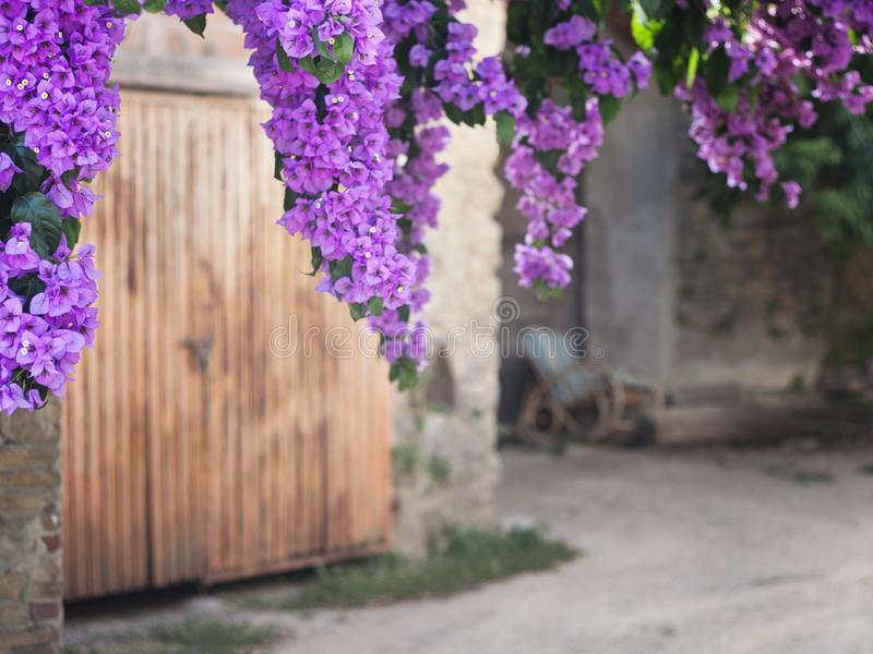 Bouganvilia zdjęcie stock