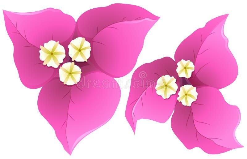 Bouganvillée dans la couleur rose illustration stock