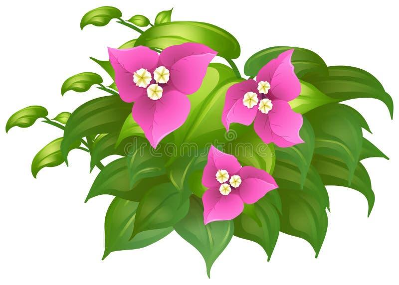 Bouganvillée dans la couleur rose illustration libre de droits