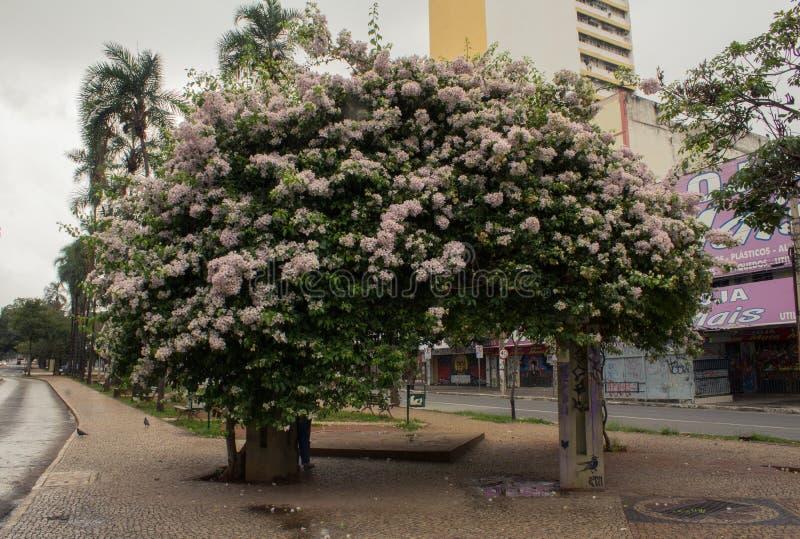 Bouganvillée rose dans la ville de Goiania photo stock