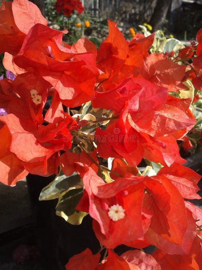 Bouganvilla glabra Rot lizenzfreies stockbild
