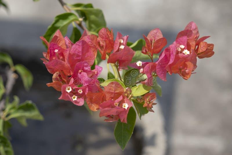 A Bouganvilla Plant stock image