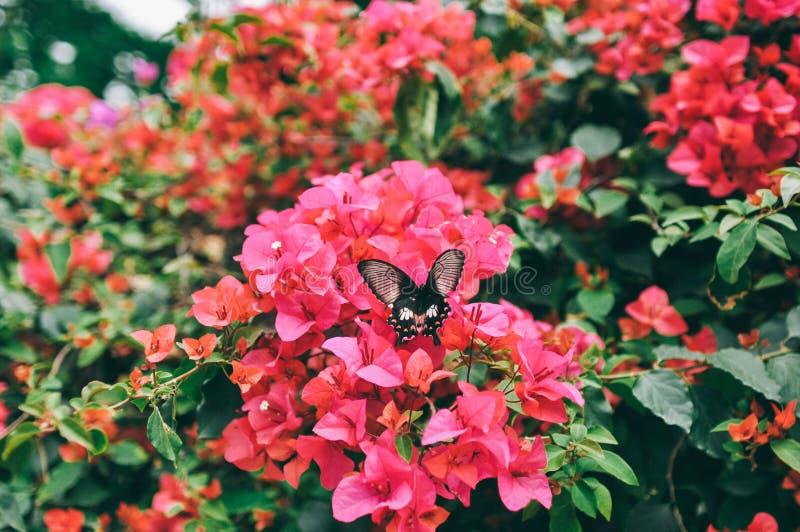 Bouganvilla und Schmetterling im Garten oder im Naturpark lizenzfreie stockfotografie
