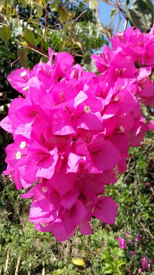 Bouganvilla van het document Flower royalty-vrije stock afbeelding