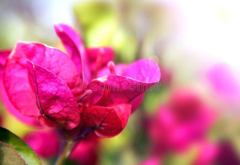 Bouganvillablüten stockfotografie