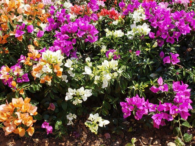 Bouganvillablumen in den verschiedenen Farben in einer Jahreszeit des Gartens im Frühjahr stockfoto