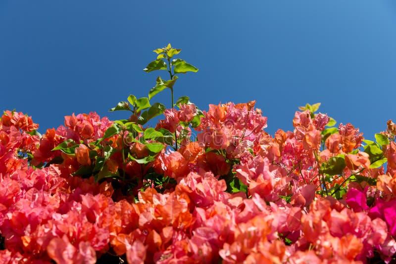 Bouganvillablumen, die in einem Park blühen lizenzfreie stockbilder