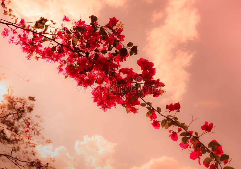 Bouganvillablumen mit roter Weinlese-Art stockfoto