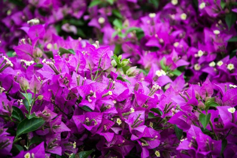 Bouganville in fioritura immagine stock immagine di for Bouganville fioritura