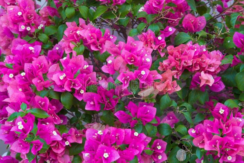 Bouganvillea bloeit patroon royalty-vrije stock afbeelding