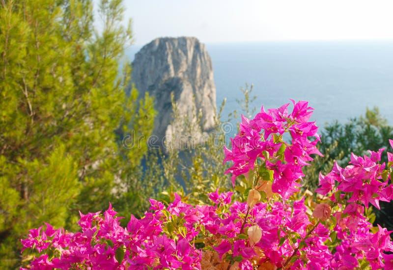 Bouganvillea flowers and Faraglioi royalty free stock image