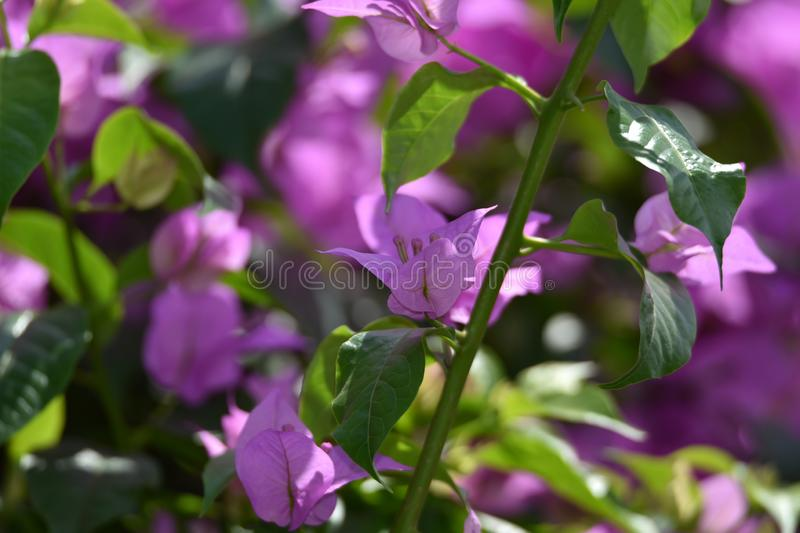 Bougenville Flowers. usually white or purple, blooms and thrives in a bird par stock photo