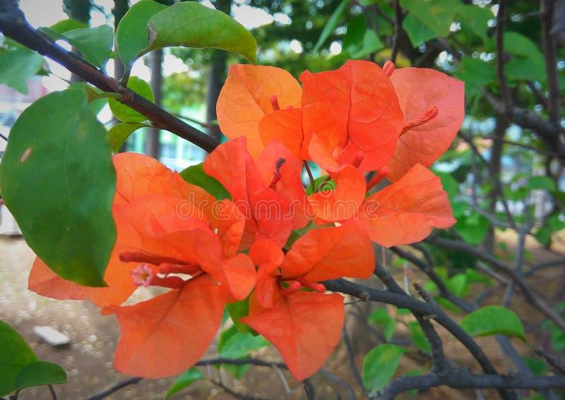 Bougenville orange lumineux photos libres de droits