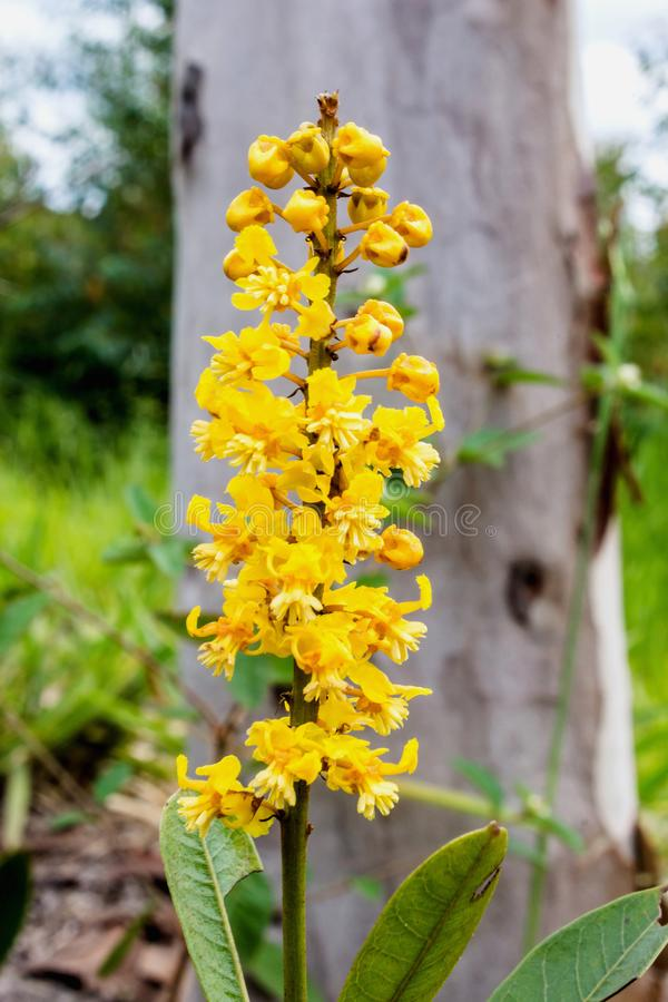 Bough of flowers. Bunch of yellow flowers.  tree still young, already with beautiful flowers stock images