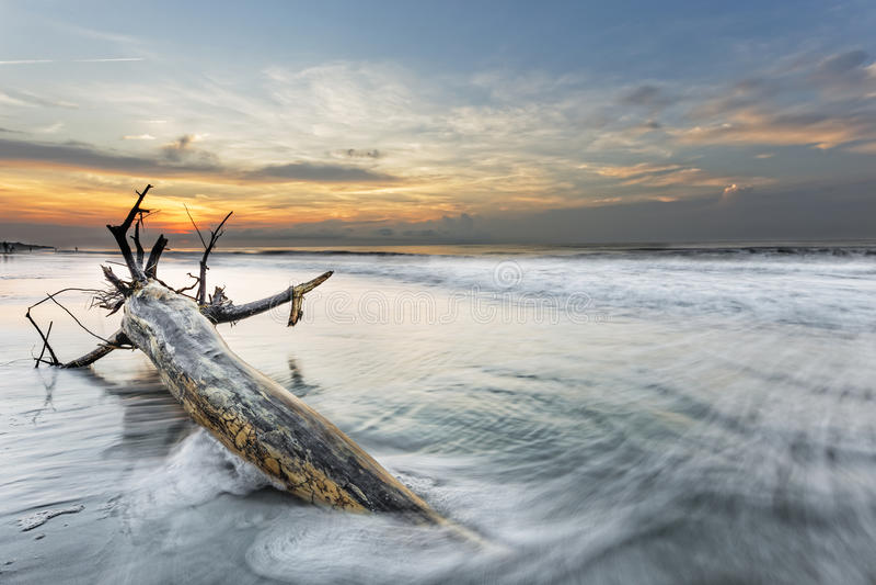 Bough in Ocean. Bough on the beach in Hilton head Island stock photography