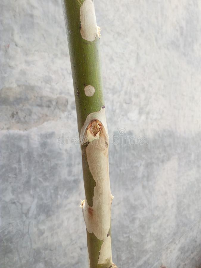 A bough of Poplar stock image