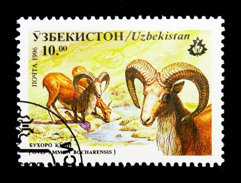 Boukhara Urial (bocharensis de vignei d'Ovis), serie de mammifères, vers 19 image libre de droits