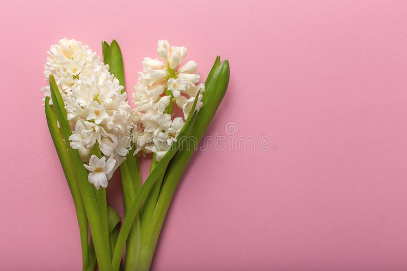 Boukuet hyacinth close-up on pink background royalty free stock images