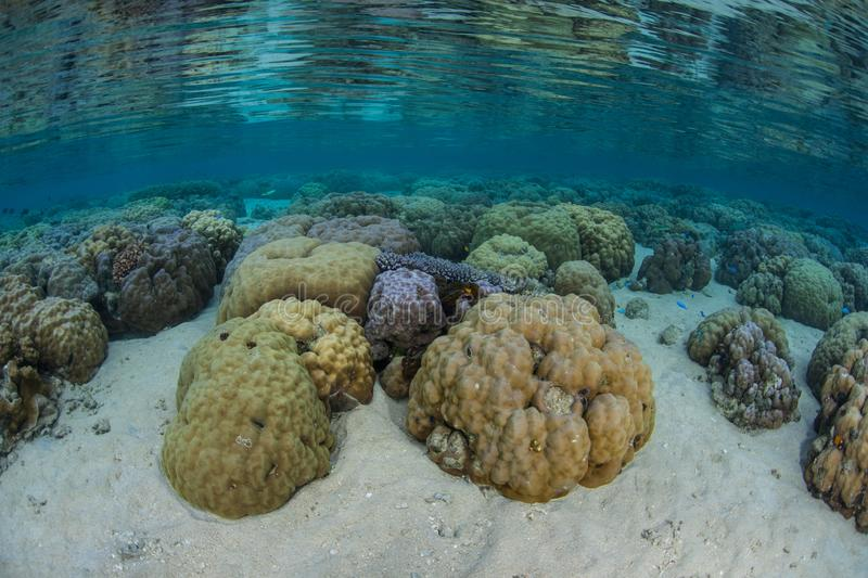 Boulder Corals Grow in Shallows Near Ambon, Indonesia. Healthy boulder corals grow in shallow water near the island of Ambon in Indonesia. This remote, tropical stock images